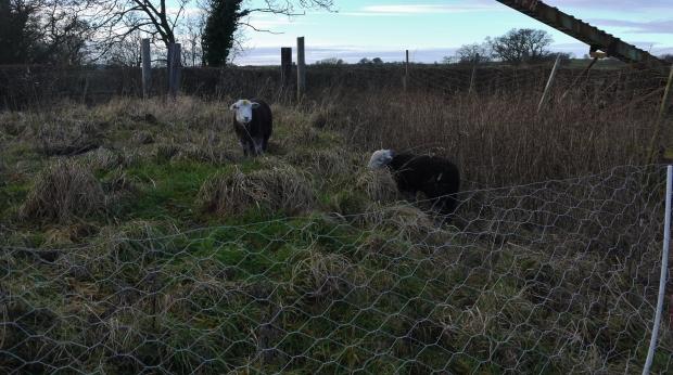 sheep-jan-17-049